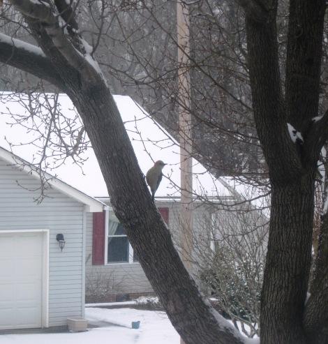 P&O Woodpecker