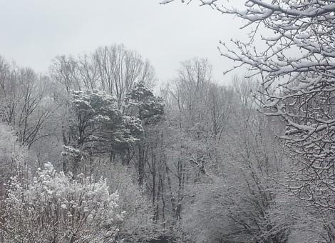Snowy Treetops