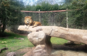 This lion looked too serious...